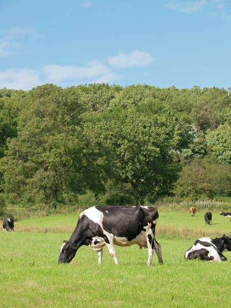 Grazing Photograph - Grazing Cow by Mikedabell