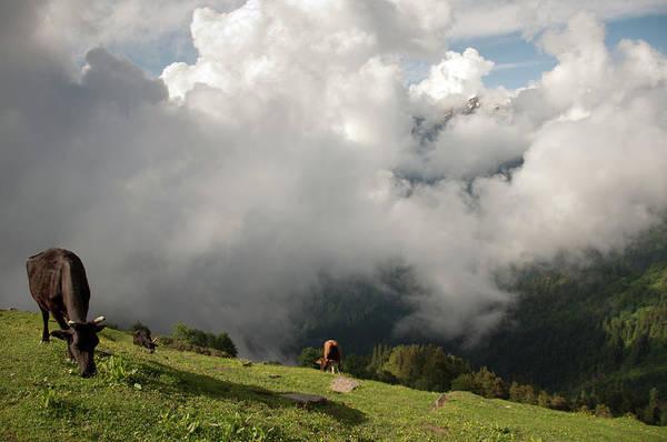 Grazing Photograph - Grazing Cows, Himachalpradesh, India by Petr Smelc