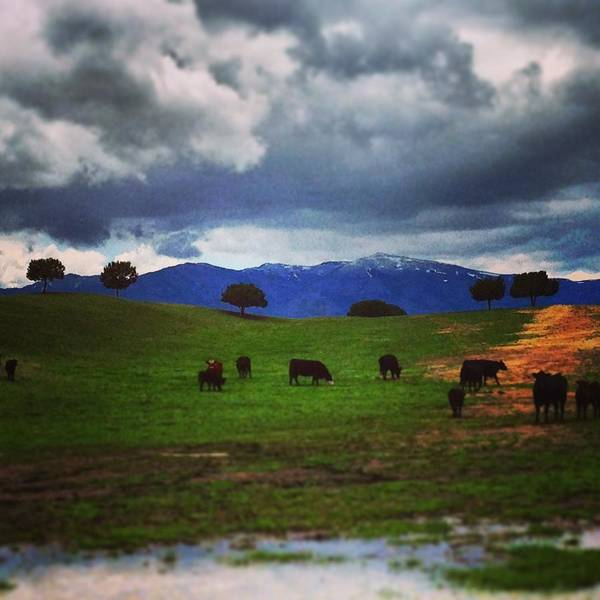 Wall Art - Photograph - Grazing Cows by Jake Harral