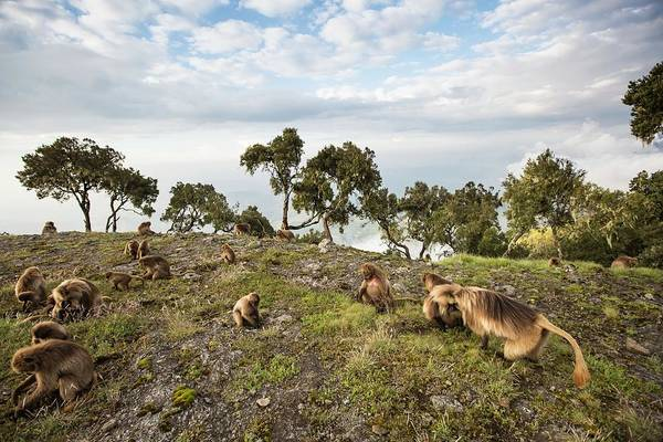Baboons Photograph - Grazing Gelada Baboons At Sunset by Peter J. Raymond