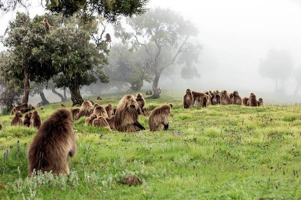 Old World Monkey Photograph - Grazing Gelada Baboons In The Mist by Peter J. Raymond