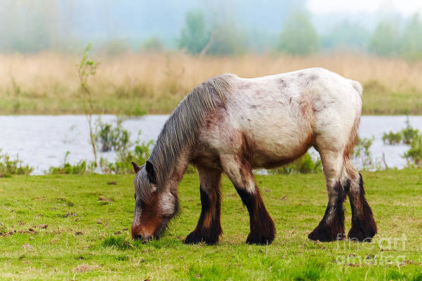 Photograph - Grazing Horse by Nick  Biemans