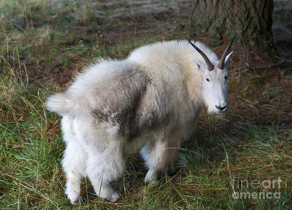 Goats Photograph - Grazing Mountain Goat by Mike Dawson