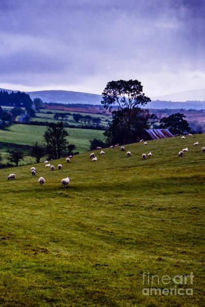 Wall Art - Photograph - Grazing Sheep Emerald Isle by Thomas R Fletcher