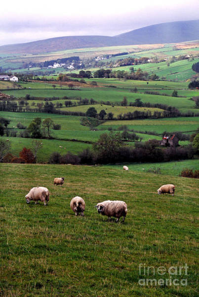Photograph - Grazing Sheep In Green Fields by Thomas R Fletcher