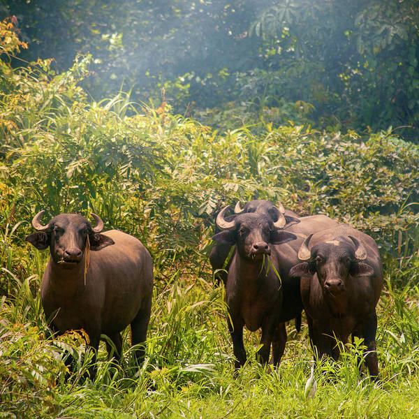 Domestic Animals Photograph - Grazing Water Buffaloes by Istvan Kadar Photography