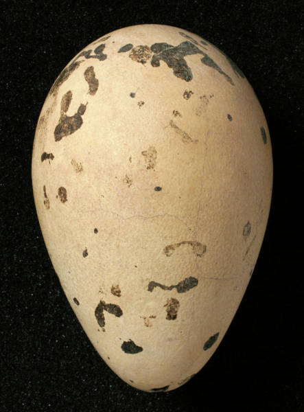 Greater London Photograph - Great Auk Egg by Natural History Museum, London/science Photo Library