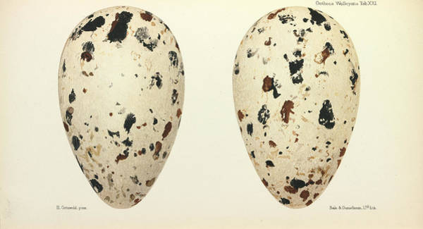 Alcidae Photograph - Great Auk Eggs by Natural History Museum, London