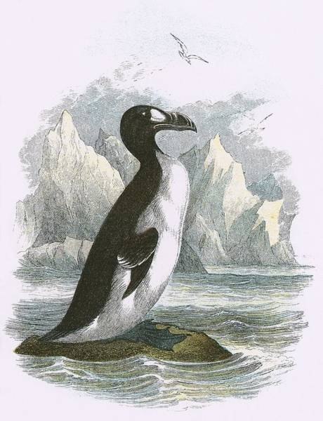 Ornithology Photograph - Great Auk by English School