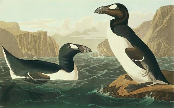 Aquatint Photograph - Great Auk by Natural History Museum, London/science Photo Library