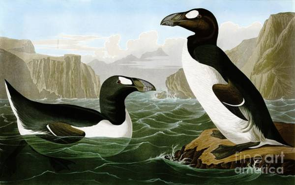 Drawing - Great Auks by Celestial Images