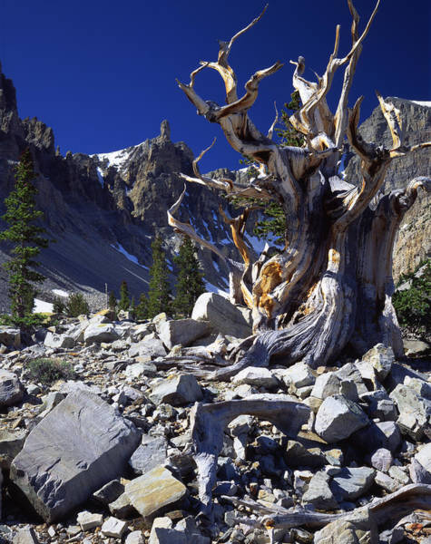 Great Basin Bristlecone Art Print