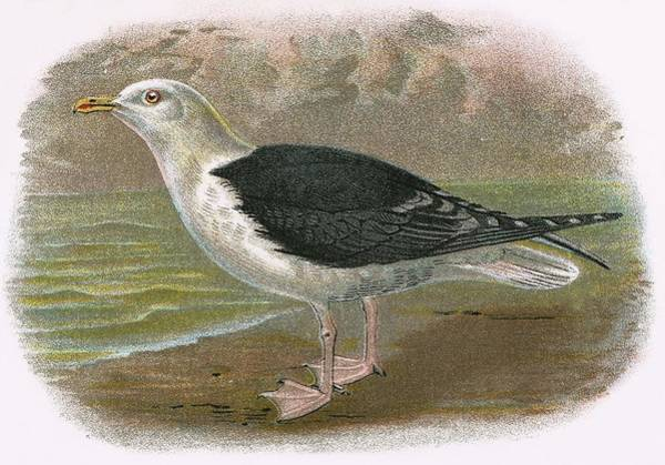Ornithology Photograph - Great Black Backed Gull by English School
