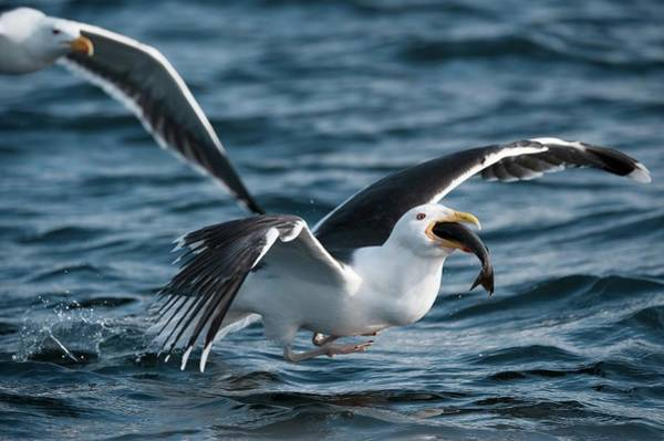 Wing Back Wall Art - Photograph - Great Black-backed Gull With A Fish by Dr P. Marazzi/science Photo Library