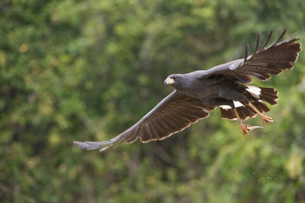River Hawk Photograph - Great Black Hawk Buteogallus Urubitinga by Panoramic Images