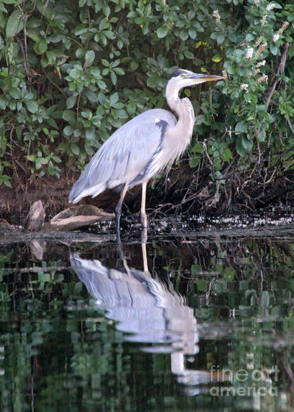 Photograph - Great Blue Heron 1 by Jemmy Archer