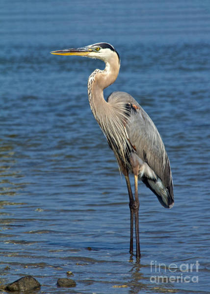 Photograph - Great Blue Heron 3 by Jemmy Archer