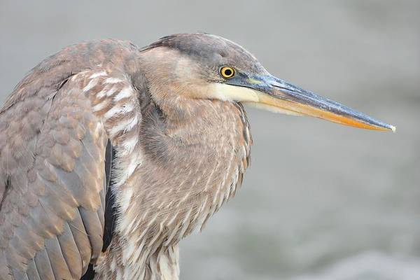 Monocacy Wall Art - Photograph - Great Blue Heron 4 by Chris Post