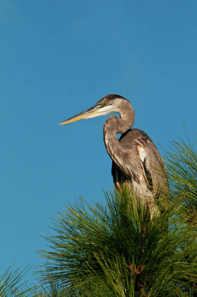 The Great Outdoors Photograph - Great Blue Heron Ardea Herodias In by Mark Newman
