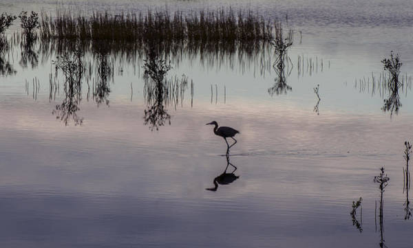 Photograph - Great Blue Heron At Sundown by William Bitman