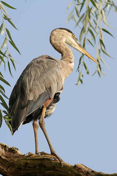 Photograph - Great Blue Heron Bird Photography by Juergen Roth