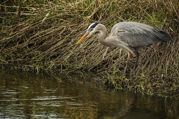 Photograph - Great Blue Heron By The Water's Edge by Belinda Greb