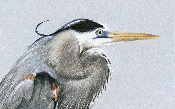 Great Blue Heron Drawing - Great Blue Heron Closeup by Heather Mitchell