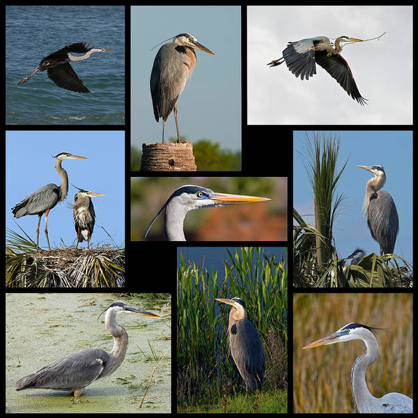 Photograph - Great Blue Heron Collage by Dawn Currie