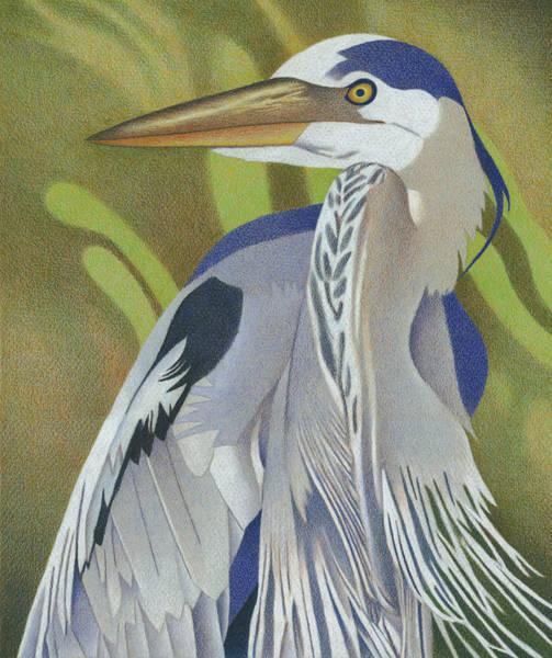 Drawing - Great Blue Heron by Dan Miller
