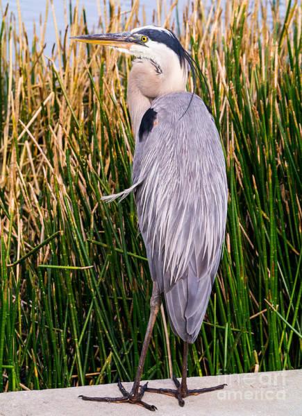 Photograph - Great Blue Heron by Edward Fielding