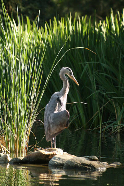 Great Blue Herons Photograph - Great Blue Heron by Ellen Henneke
