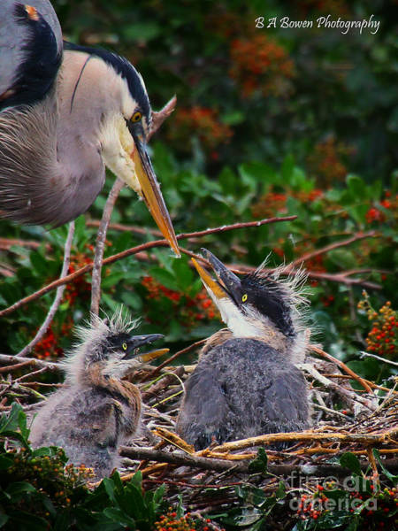 Photograph - Great Blue Heron Family by Barbara Bowen