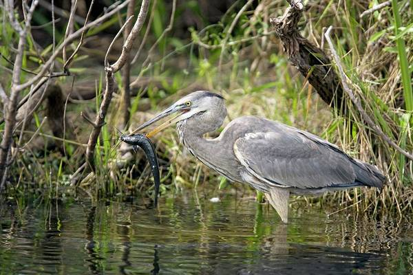 Introduced Species Photograph - Great Blue Heron Feeding by Bob Gibbons/science Photo Library