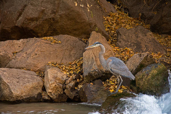 Photograph - Great Blue Heron Fishing In The Virgin River by Fred Stearns