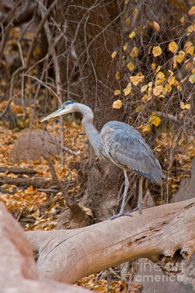 Photograph - Great Blue Heron Fishing On The Virgin River by Fred Stearns