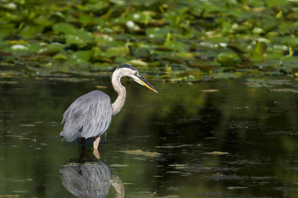 Photograph - Great Blue Heron Hunting by Larry Bohlin