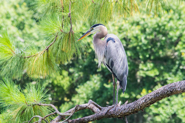 Photograph - Great Blue Heron II by Susan Molnar