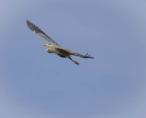 Wall Art - Photograph - Great Blue Heron In Flight-2 by Thomas Young