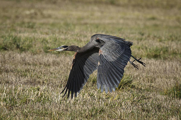 Photograph - Great Blue Heron In Flight by Wes and Dotty Weber
