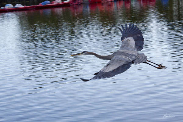 Photograph - Great Blue Heron In Flight by Diana Haronis