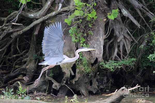 Photograph - Great Blue Heron In Flight by Jemmy Archer