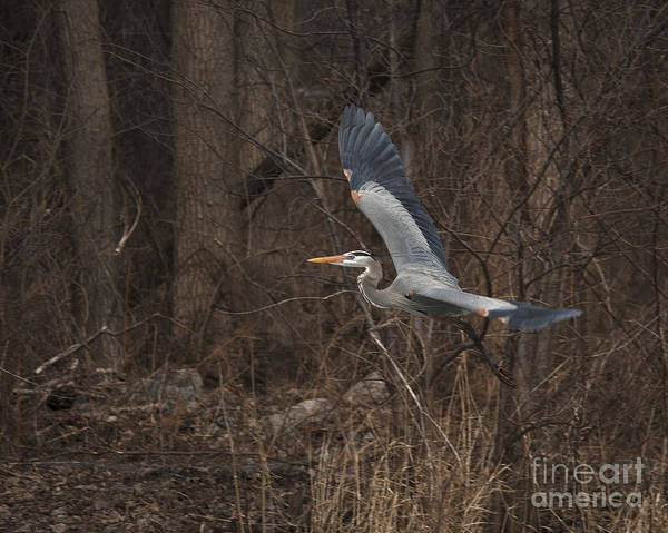 Wall Art - Photograph - Great Blue Heron In Flight by Roger Bailey