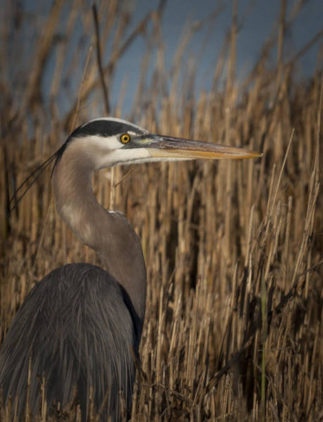 Photograph - Great Blue Heron In Marsh Grass by Jo Ann Tomaselli