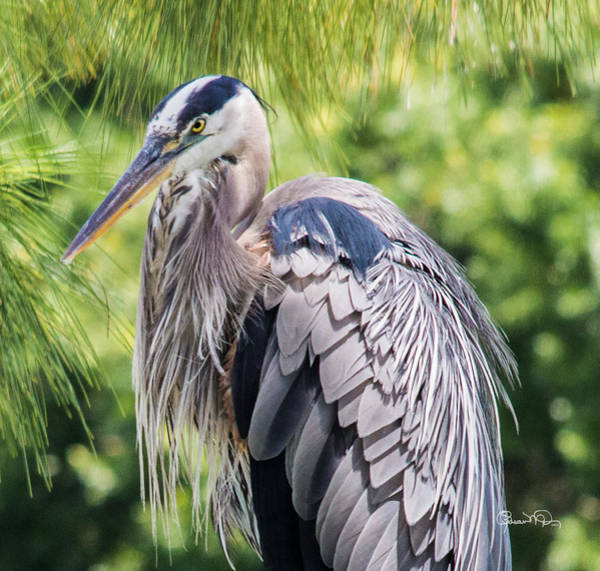 Photograph - Great Blue Heron Iv by Susan Molnar