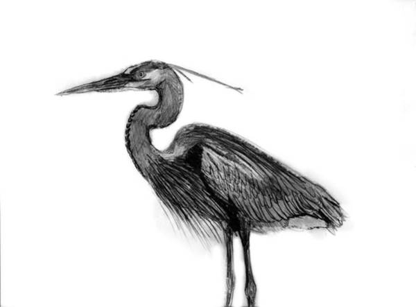 Great Blue Heron Drawing - Great Blue Heron by KG Christopher