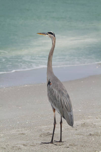 Great Blue Heron Wall Art - Photograph - Great Blue Heron by Kim Hojnacki