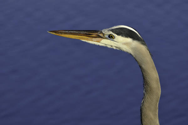 Photograph - Great Blue Heron Looking by Bradford Martin