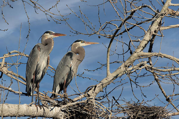 The Rookery Wall Art - Photograph - Great Blue Heron Mates by Kathleen Bishop
