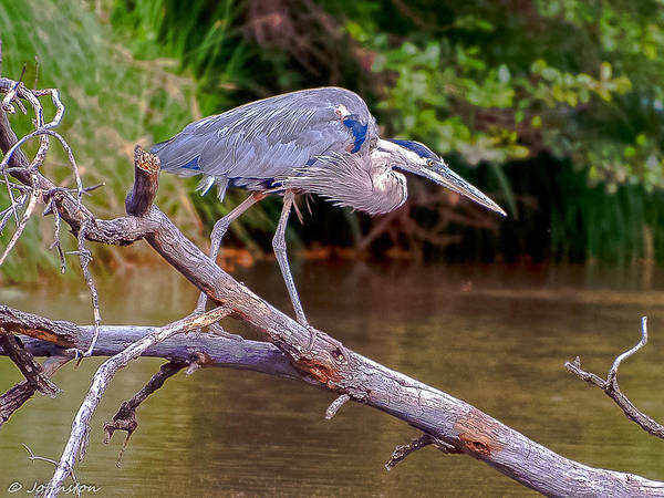 Photograph - Great Blue Heron Oak Creek Canyon Sedona Arizona by Bob and Nadine Johnston
