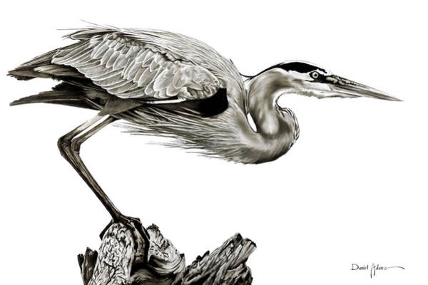 Painting - Da116 Great Blue Heron By Daniel Adams by Daniel Adams